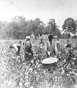 cottonfield.jpg